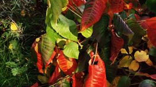 <p>Poison ivy can cause blisters, swelling and itching in people.</p>