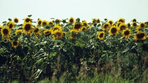 <p>Personification is often used to give things in nature, like sunflowers, human qualities.</p>