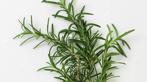 <p>Rosemary, when rubbed on a dog's fur, acts as a flea repellent.</p>