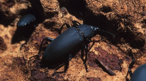 <p>Examine the adult beetles</p>