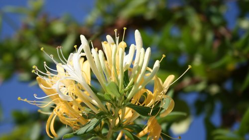 <p>A white and yellow honeysuckle blossom.</p>