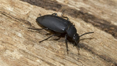 <p>How to Identify Black Beetles</p>