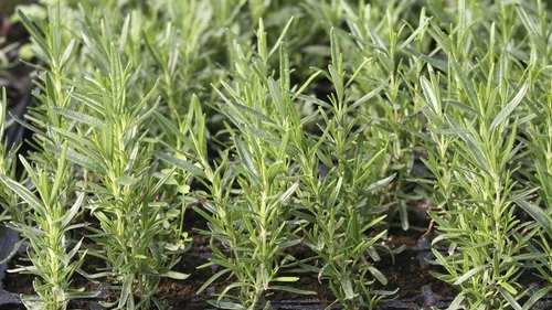 <p>Young rosemary plants grow in a nursery.</p>