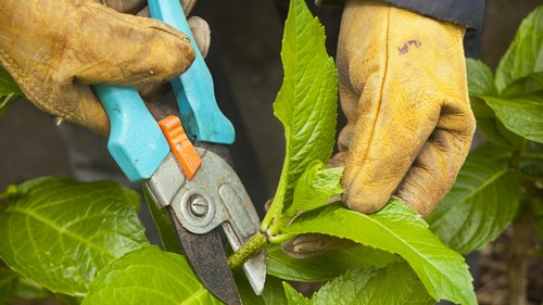 <p>Pruning old growth after the blooming season makes sure that new-growth hydrangeas will produce flowers the next summer.</p>