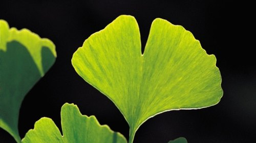 <p>The two-lobed leaf of a maidenhair tree.</p>