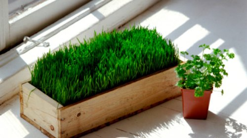 <p>Wheatgrass will grow well in temperatures not exceeding 90 degrees.</p>