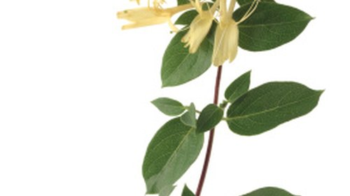 <p>Know what variety of honeysuckle you have before transplanting so that you don't spread an invasive species.</p>