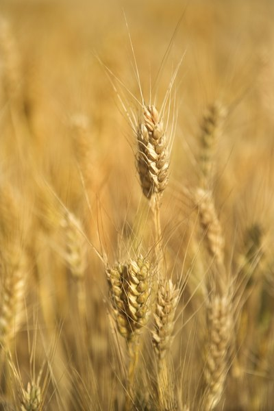 Gluten is found primarily in wheat, barley and rye.