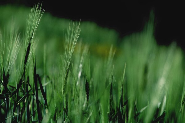 Green barley grass may not help you lose weight.