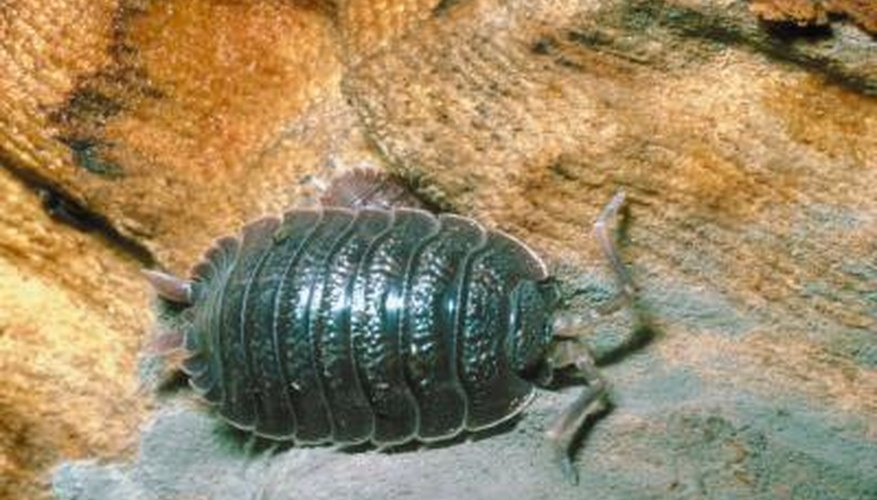 How to Trap Pill Bugs in My Vegetable Garden