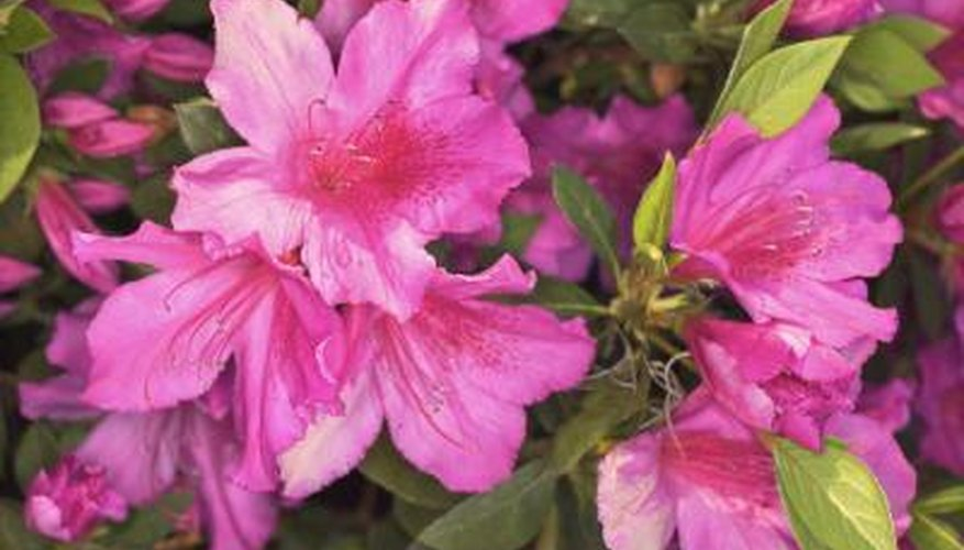 Dying Azalea Flowers In A Garden Home Guides Sf Gate