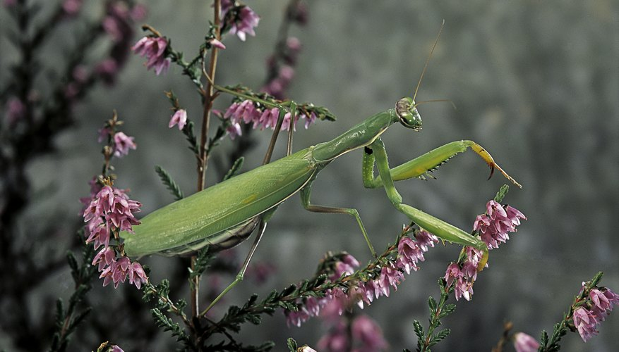 What Is The Benefit Of Releasing A Praying Mantis In Your Garden