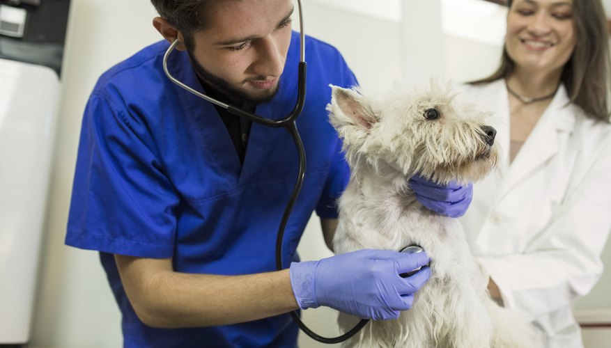 Salary Of A Vet Technician Vs Vet Assistant Work Chron Com